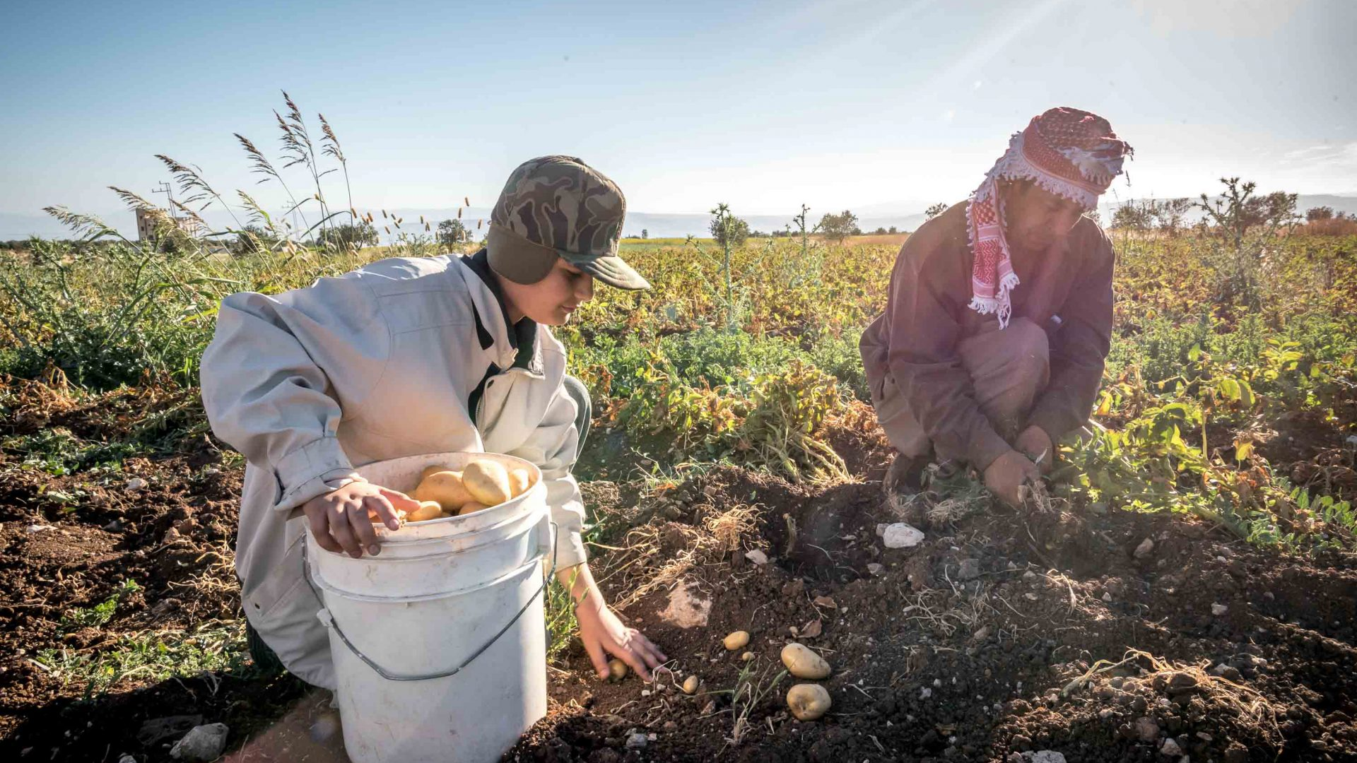 Local farmers harvest potatoes from the fertile soil around Umm Qais.