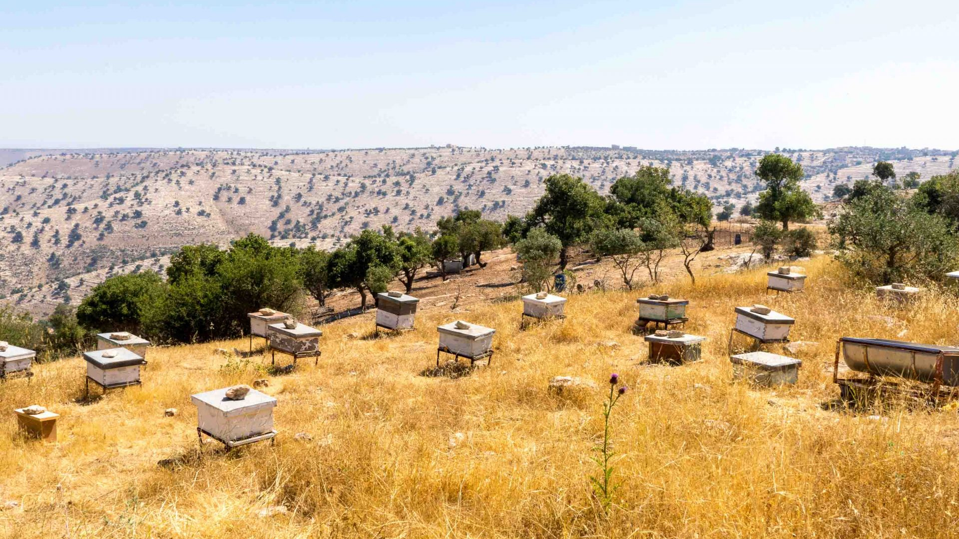 Yousef has at least 15 beehives housing roughly 60,000 bees located along the rolling hills in Umm Qais.