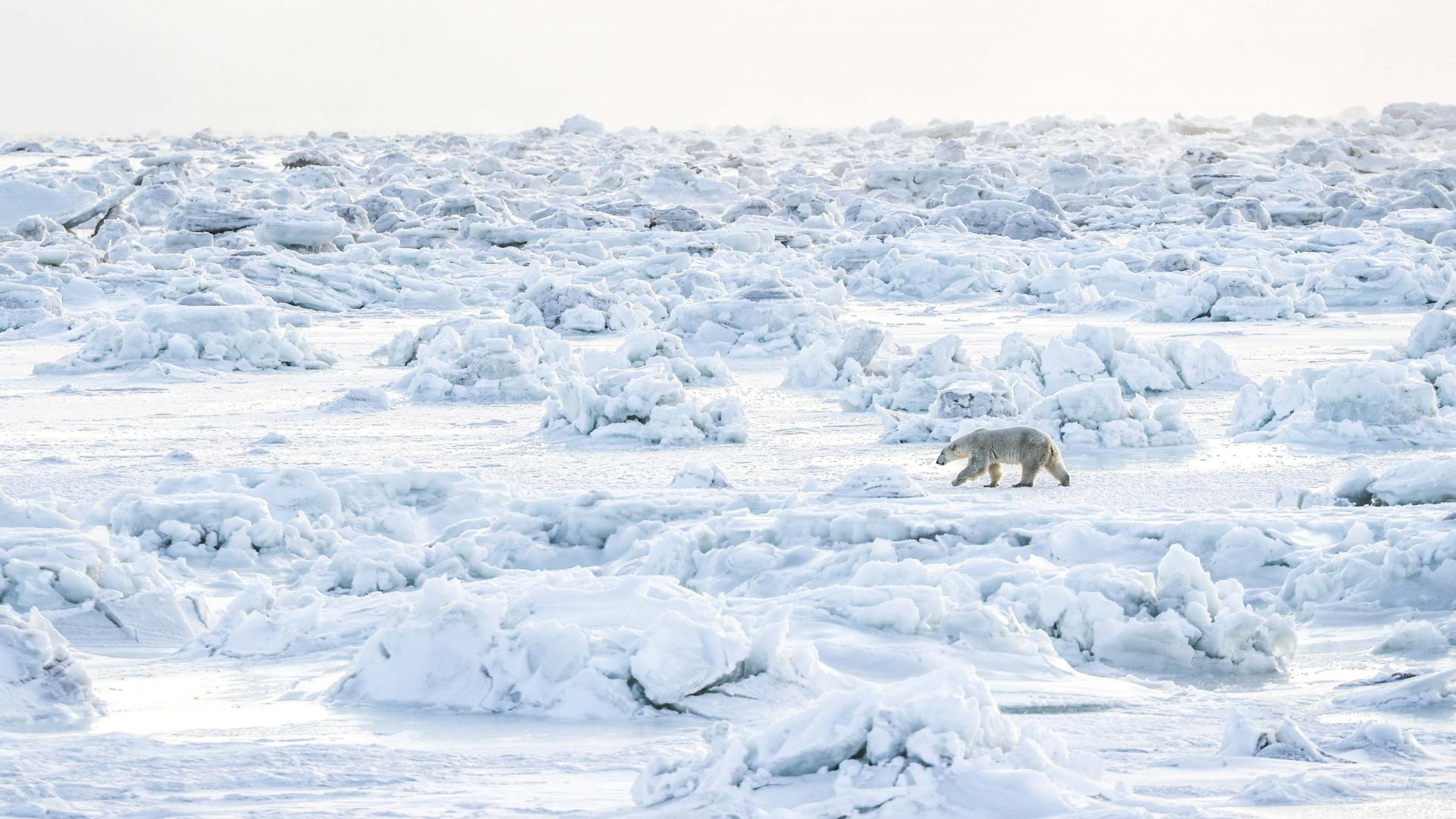 In photos: Tracing the footsteps of Manitoba's polar bears