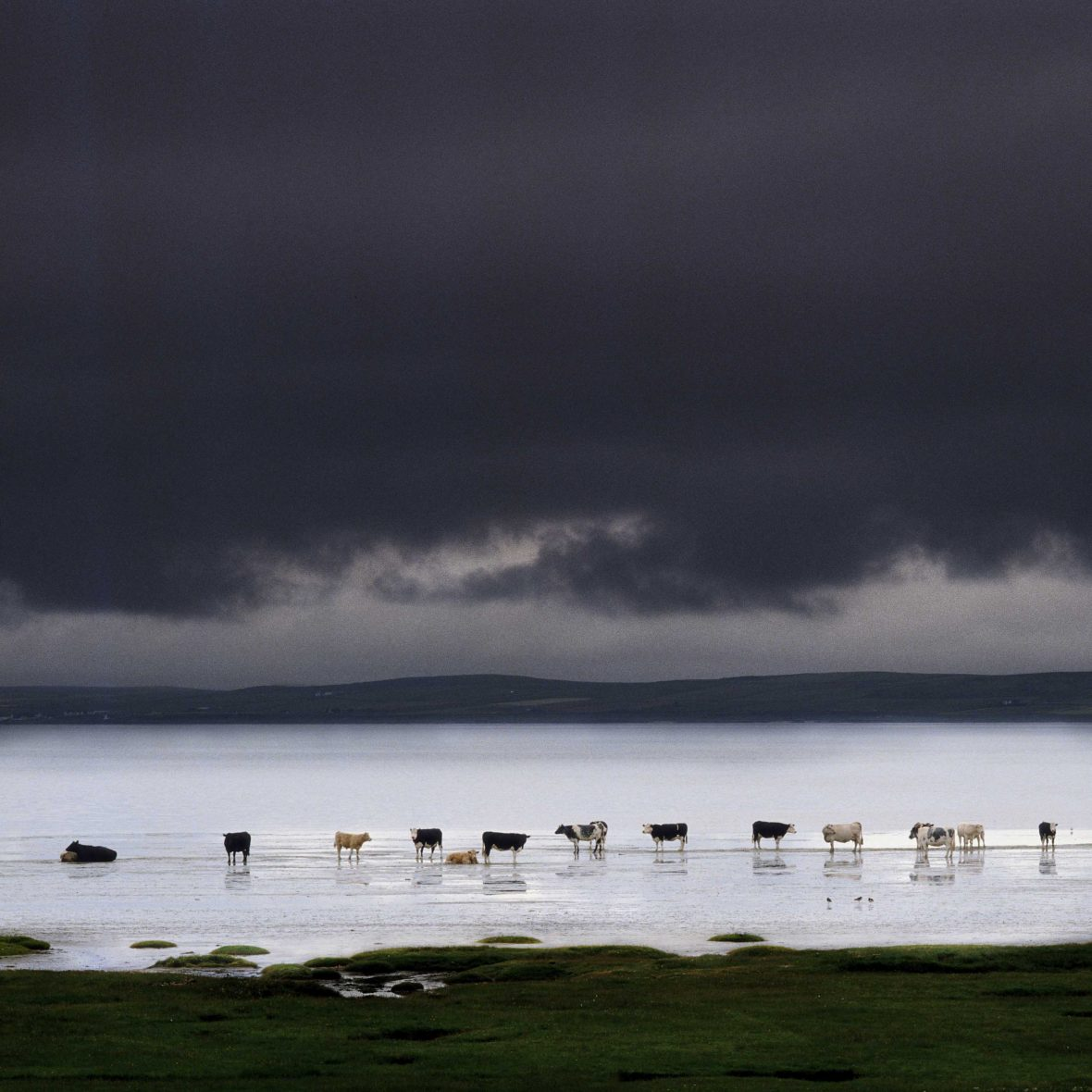 Celestial cows lining up in Islay, Scotland.