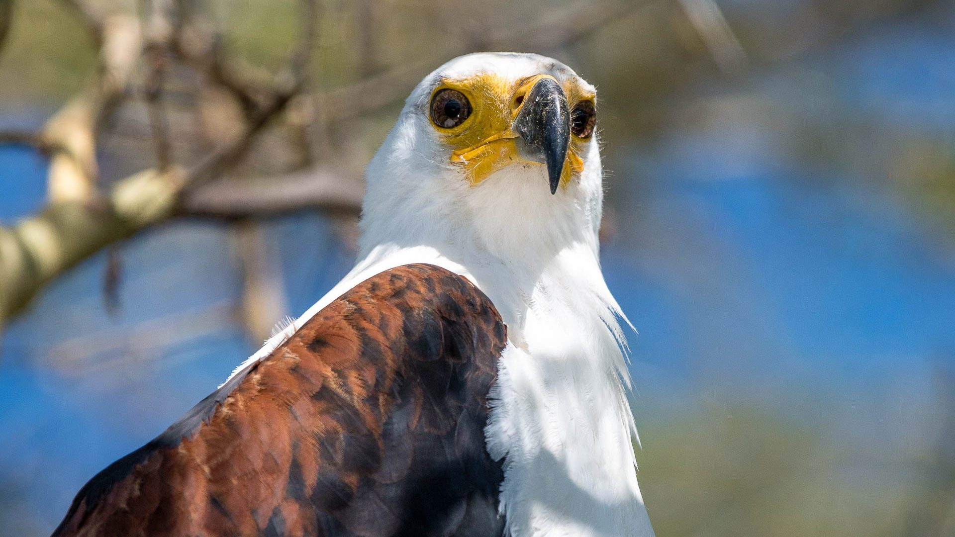 The white-headed fish eagle, Malawi's national bird, spotted in Kuthengo camp in Liwonde National Park, Malawi.