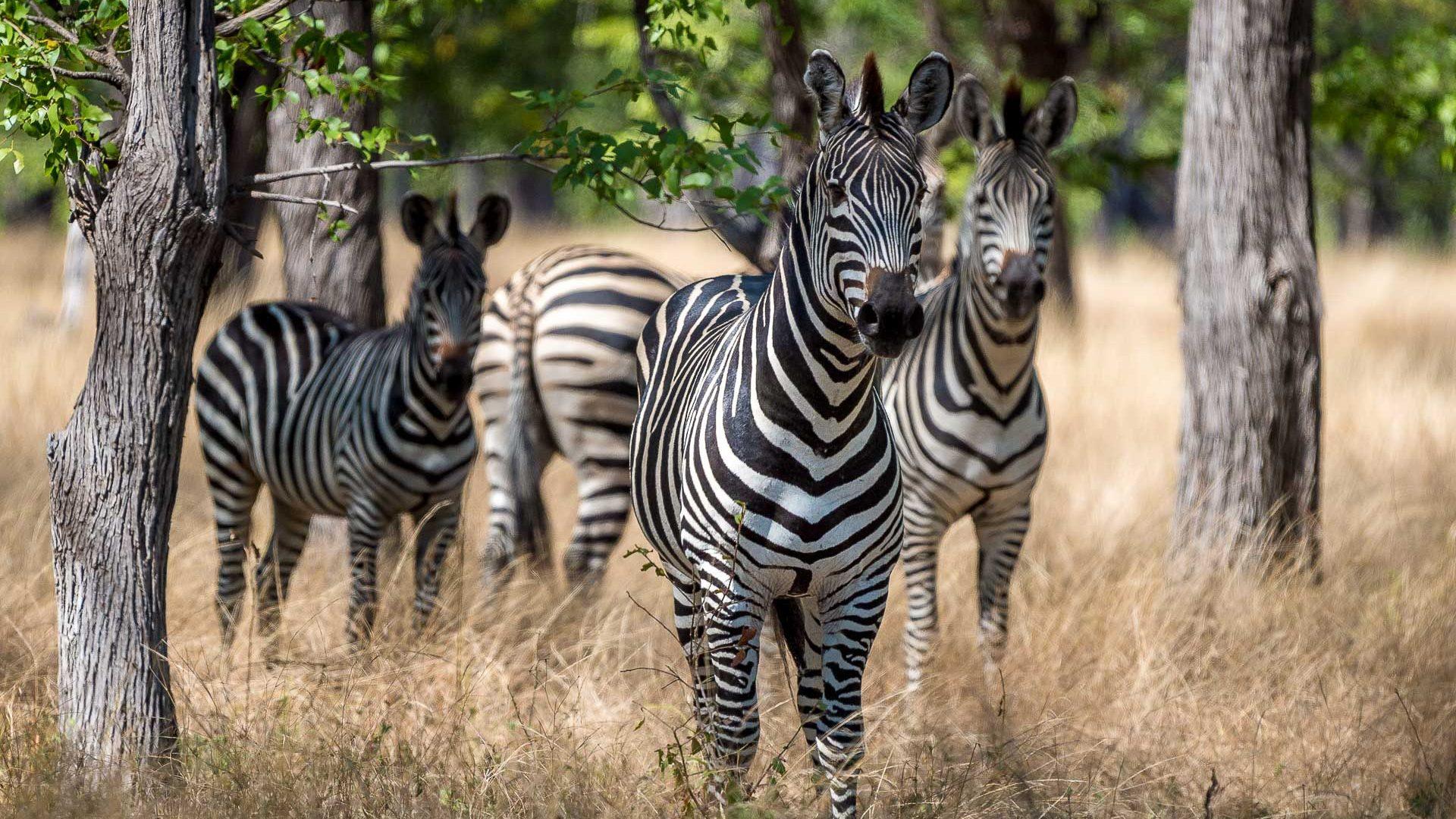 Zebras in Liwonde National Park, Malawi.