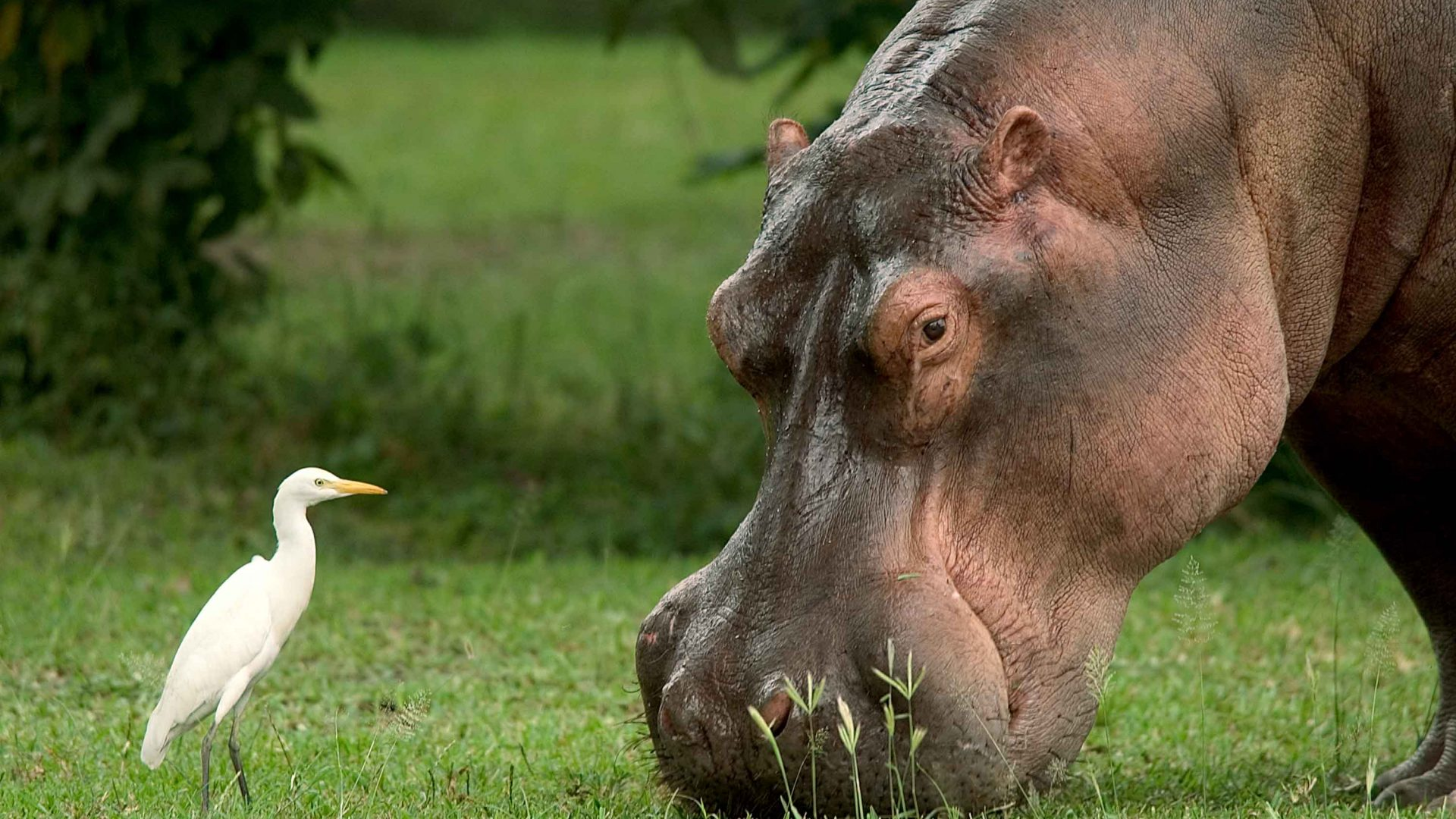 A hippo is befriended by a bird at Liwonde National Park, Malawi.