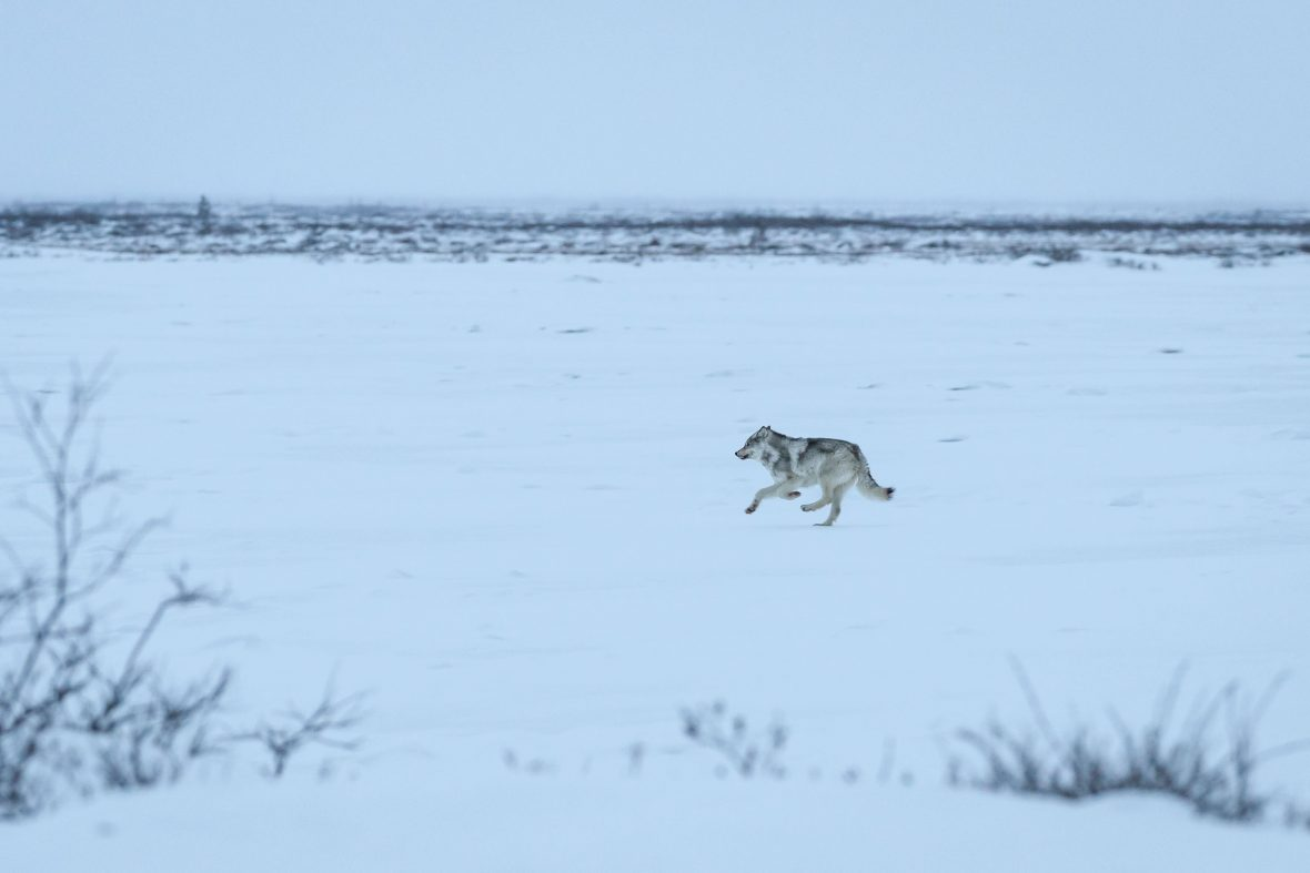 A lone wolf runs across a frozen lake near Seal River Lodge in Hudson Bay, Manitoba, Canada.