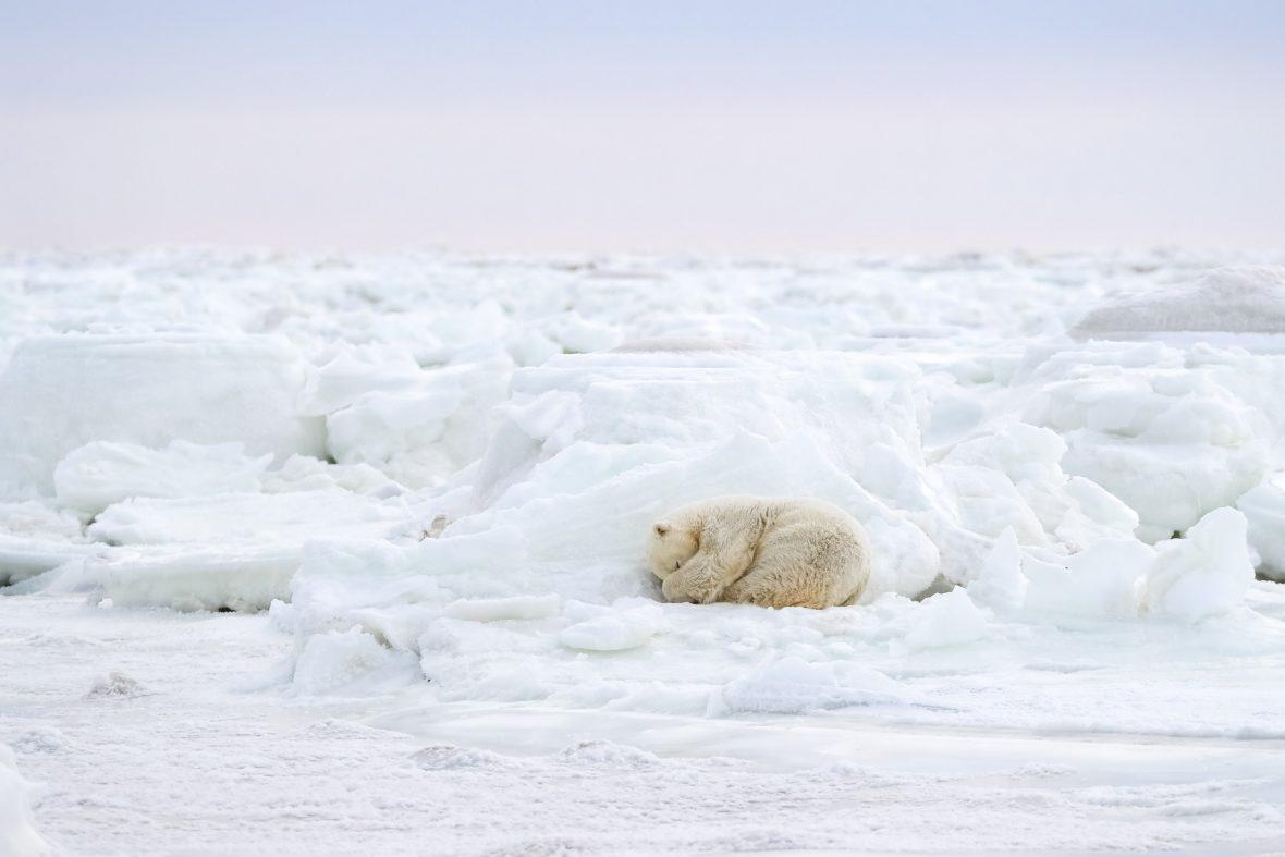 Radio Bear takes a mid-morning nap in Hudson Bay, Manitoba, Canada.