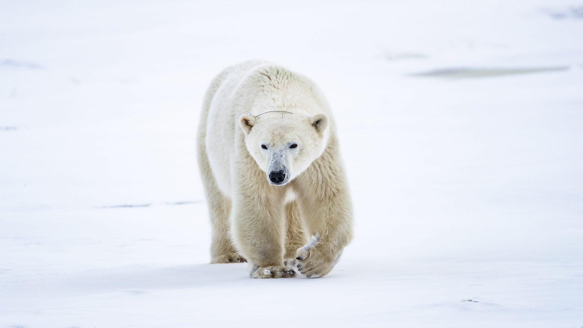 Radio Bear strolls towards the camera in Manitoba, Canada.