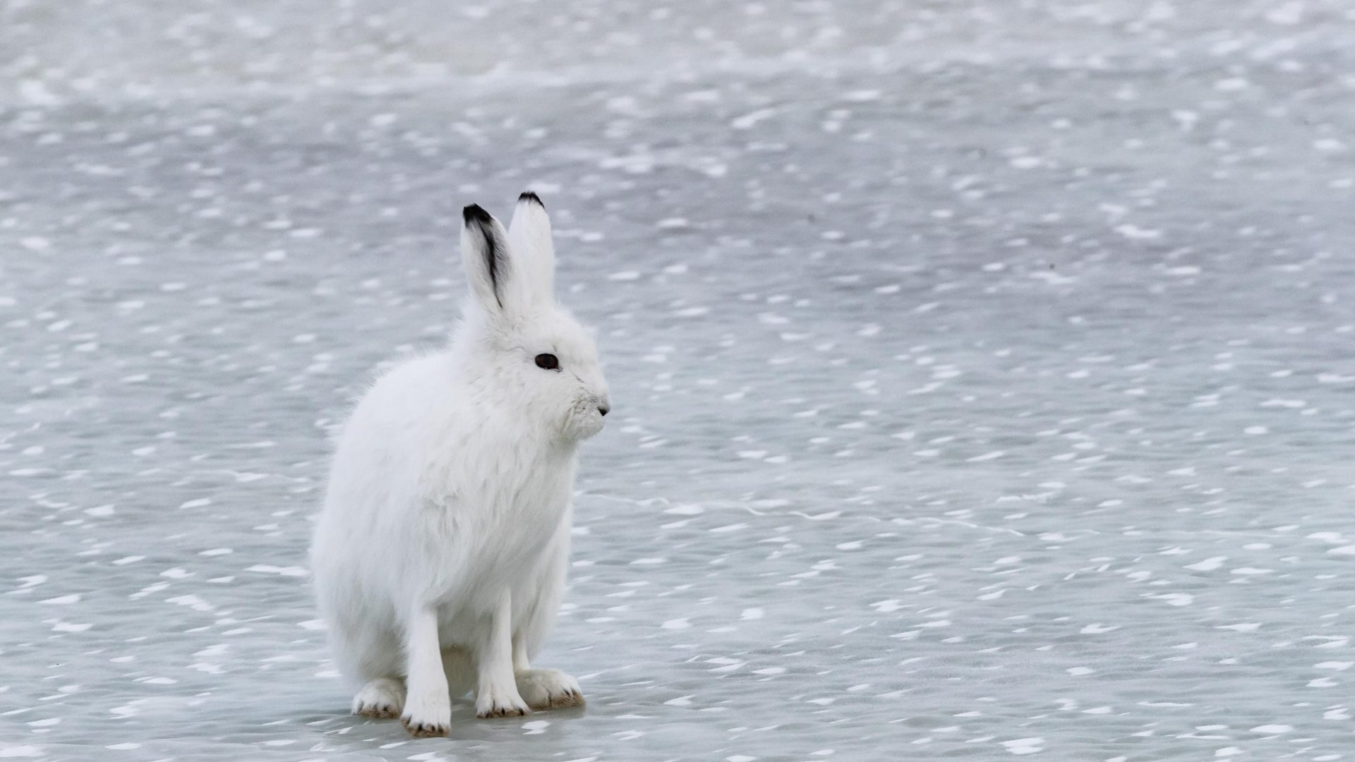 In northern Manitoba, Canada, the hares are larger than their southern cousins. This one was the size of a small dog.