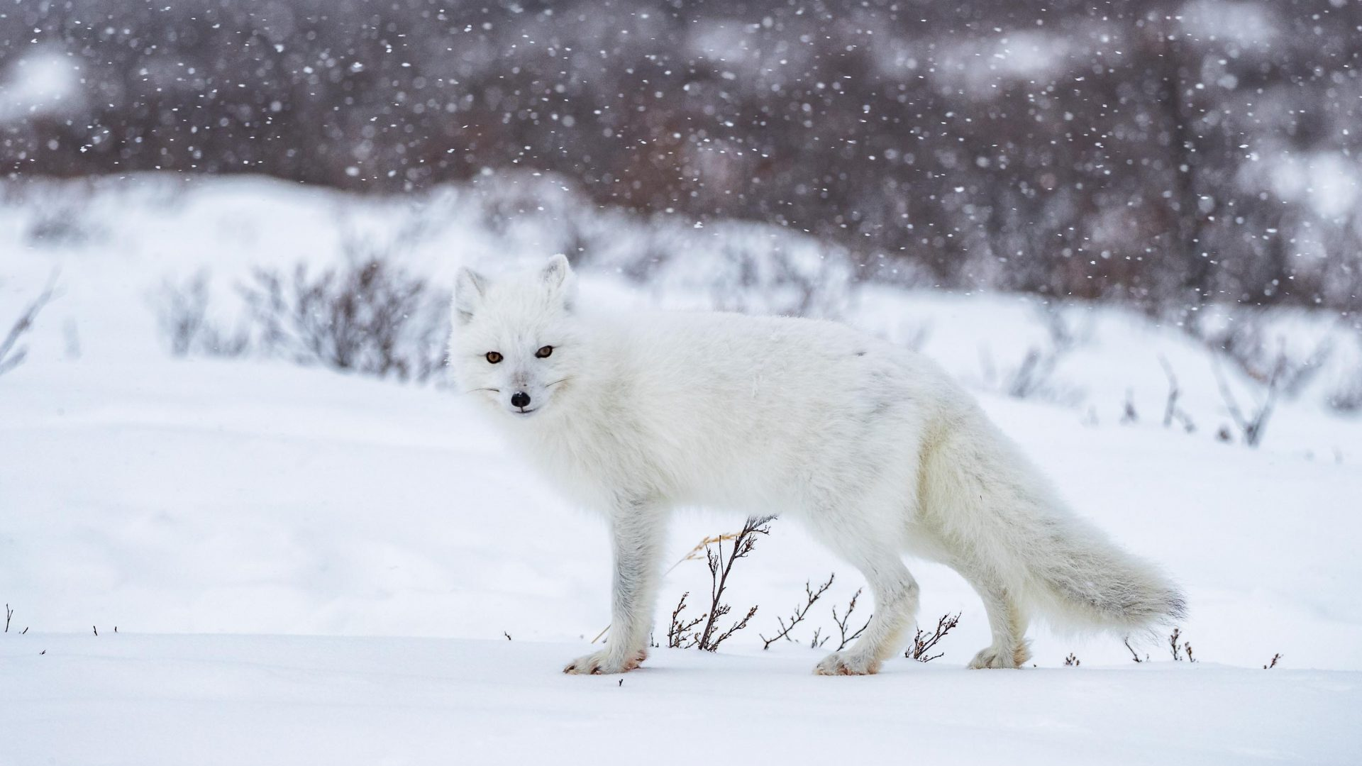 An Arctic fox in Manitoba, Canada. If you look closely, you can see blood on its paws.