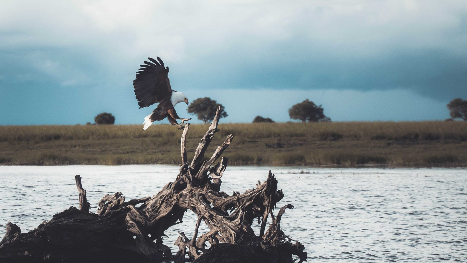 An African fish eagle lands on a tree root on the Chobe River.