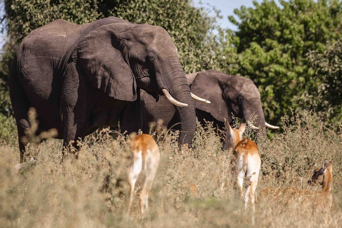 Elephants as pictured in Chobe National Park.