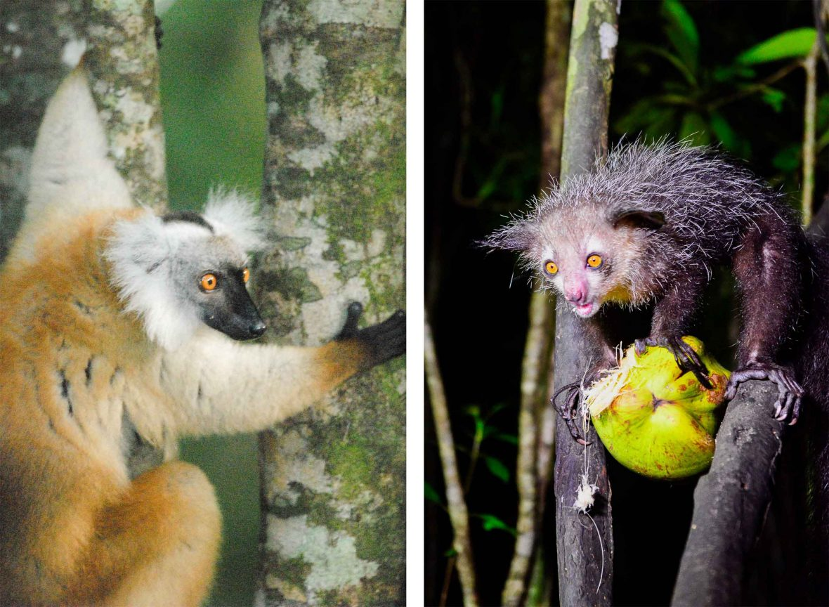 The hybrid (left) and black and white ruffed (right) lemur in Madagascar.