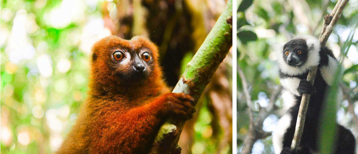 Left: La Palmarium red-bellied lemur in Madagascar; Right: The black and white ruffed lemur.