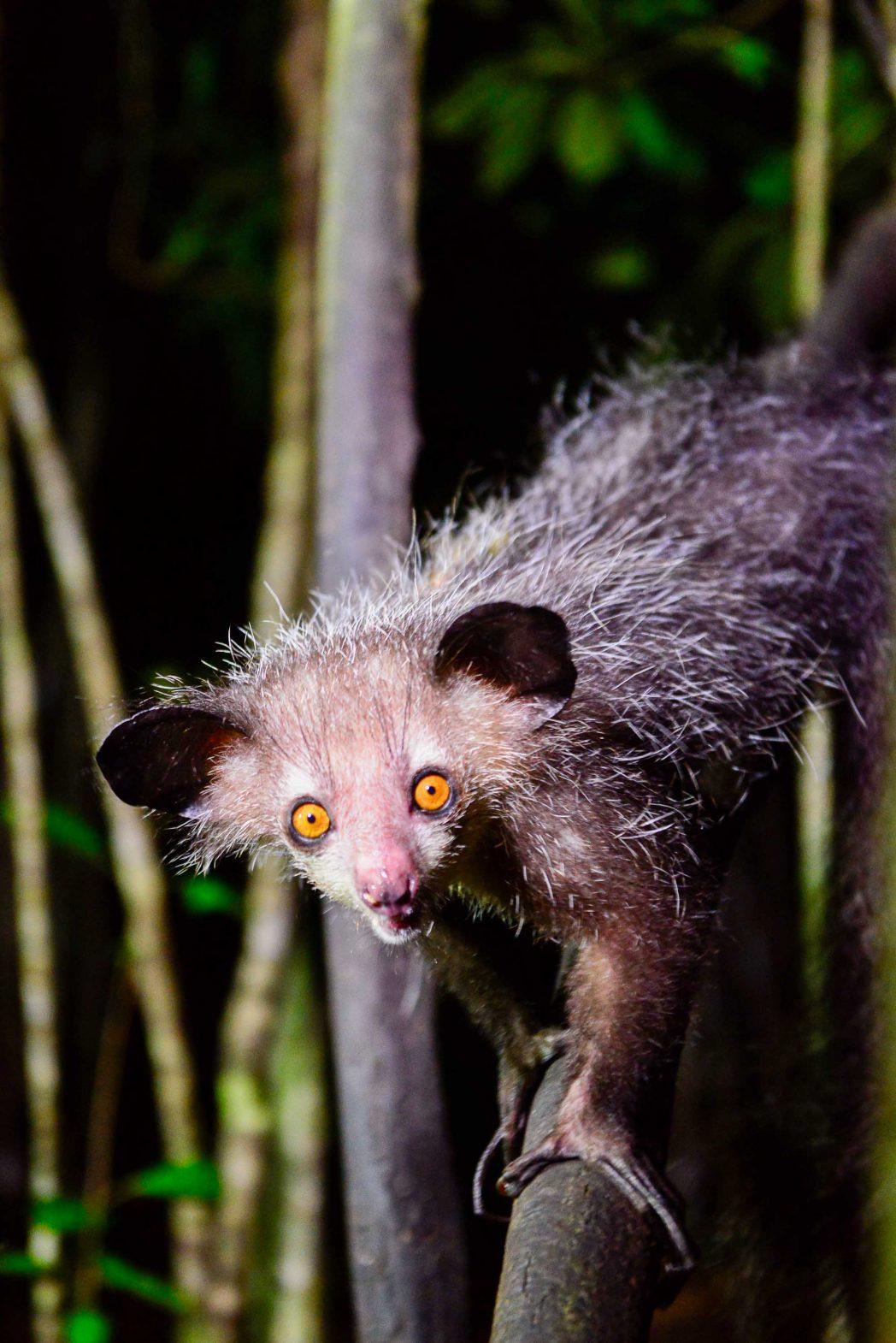 The elusive, endangered aye-aye in Madagascar.