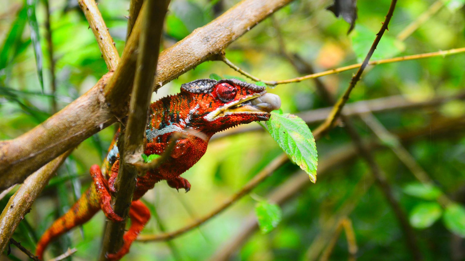 A chameleon near the village of Vohimana, Madagascar.