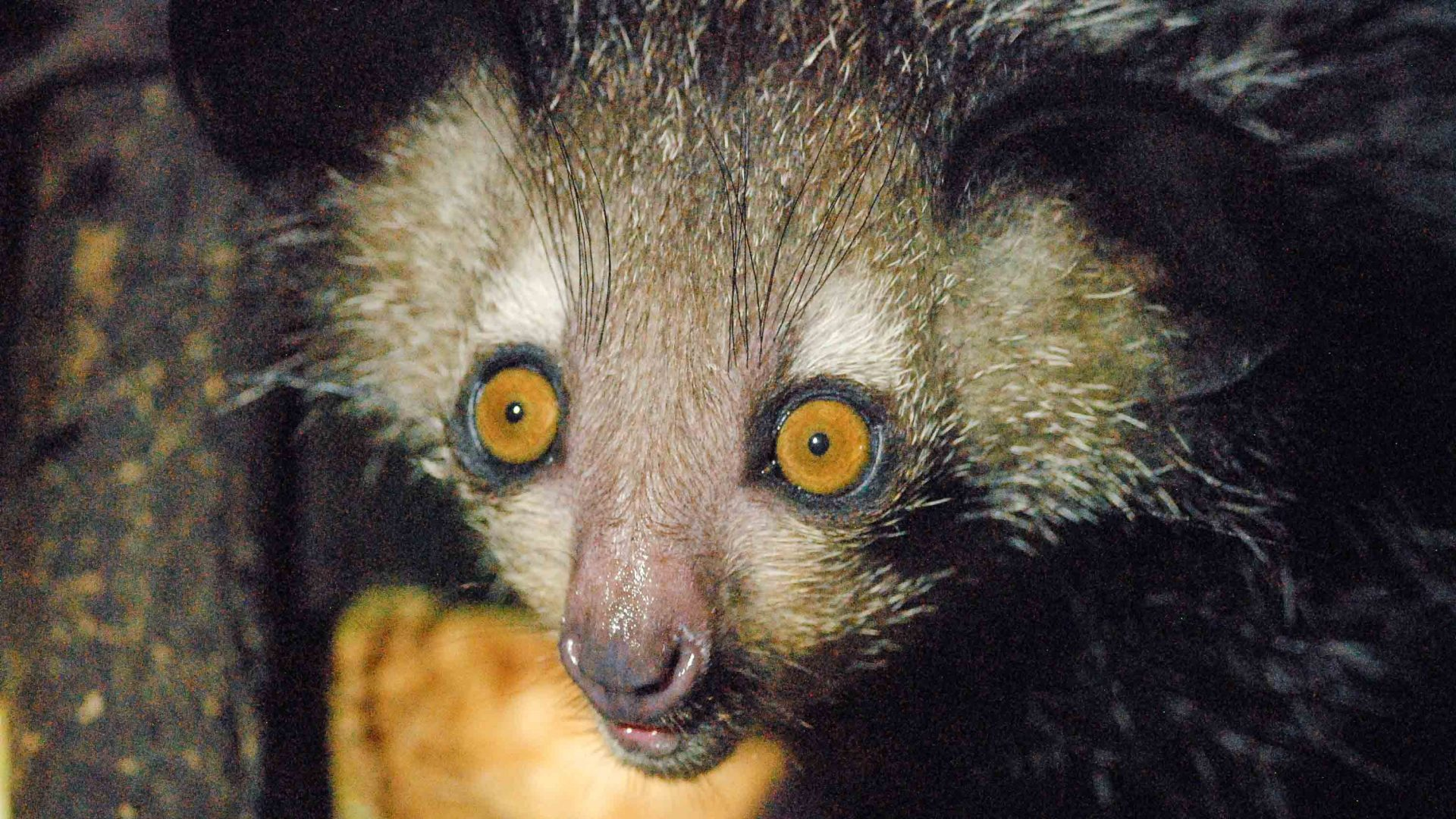 Creepy, cute and elusive: In search of Madagascar's strangest creature