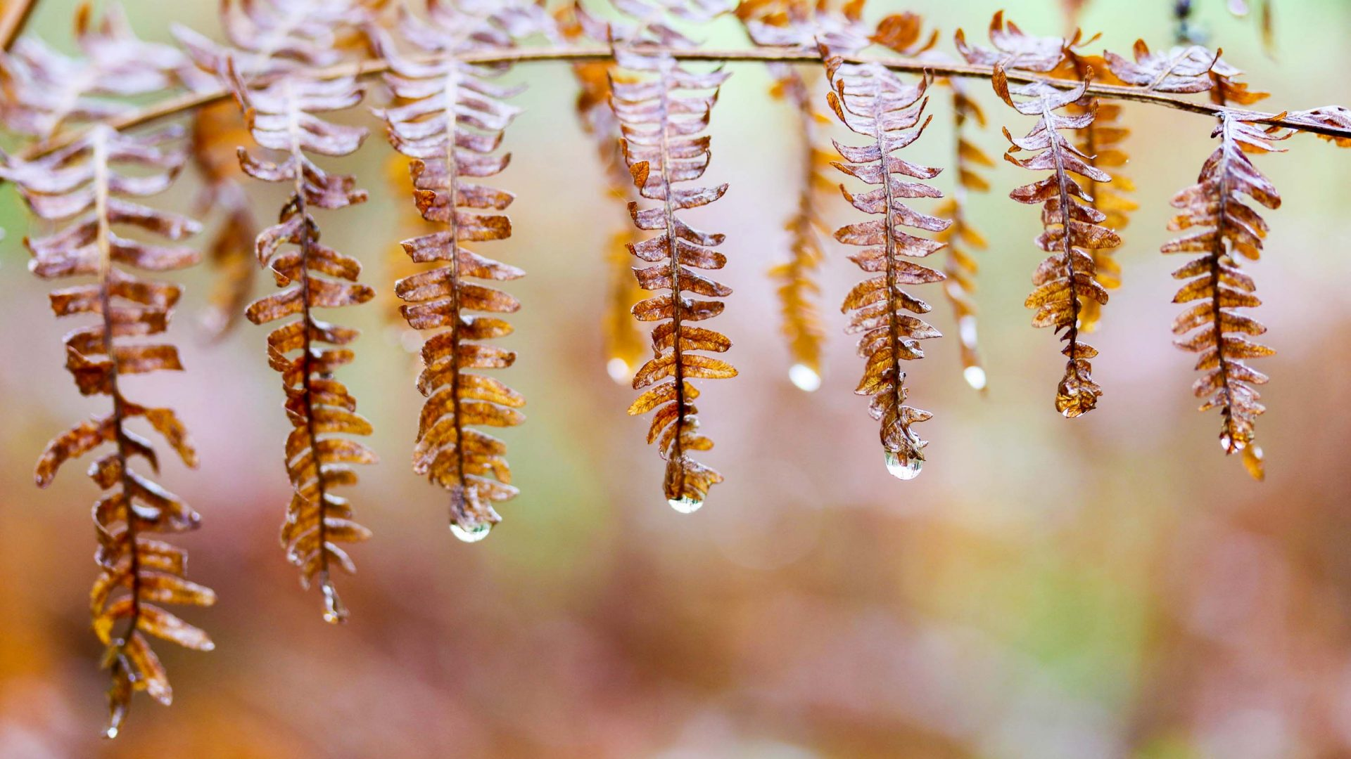 Drops of water cling to a fern.