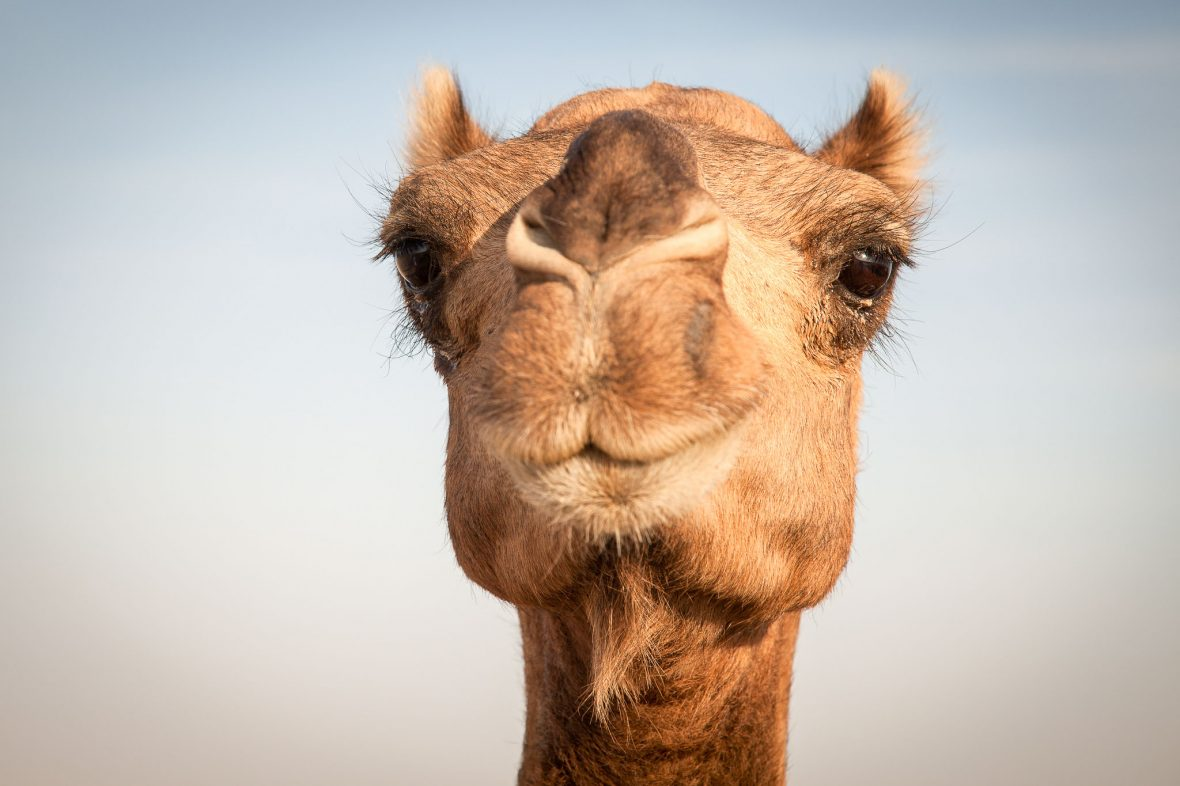 A camel in the vast Empty Quarter or Rub' al Khali desert which takes up the southern third of the Arabian Peninsula.