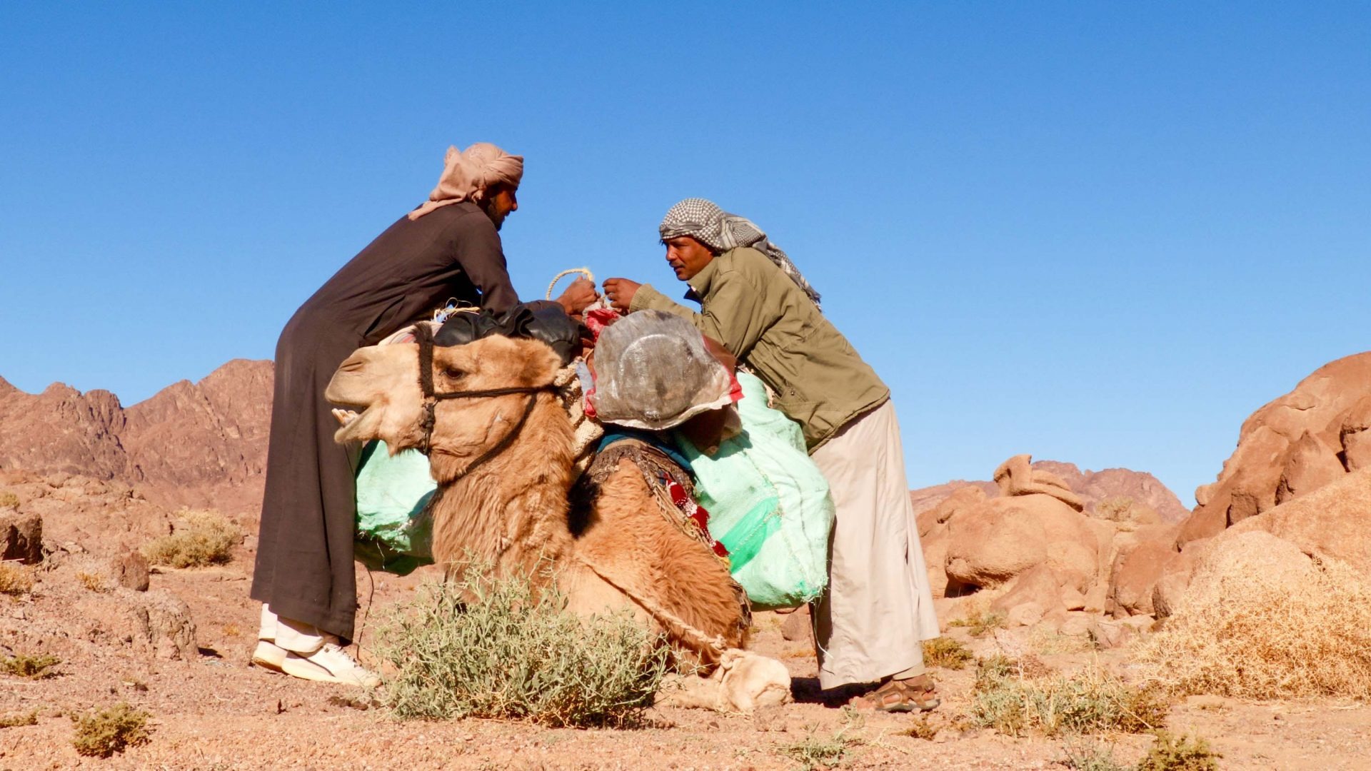 Harboush the camel is loaded up for the day.