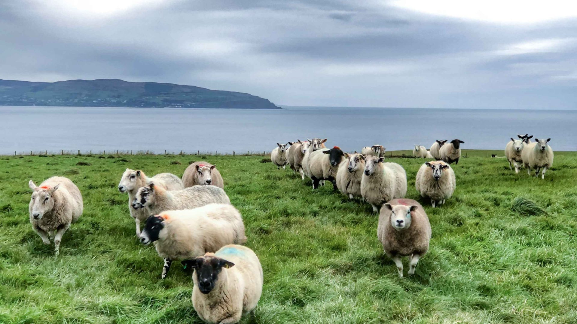 Sheep on the north coast of Northern Ireland.