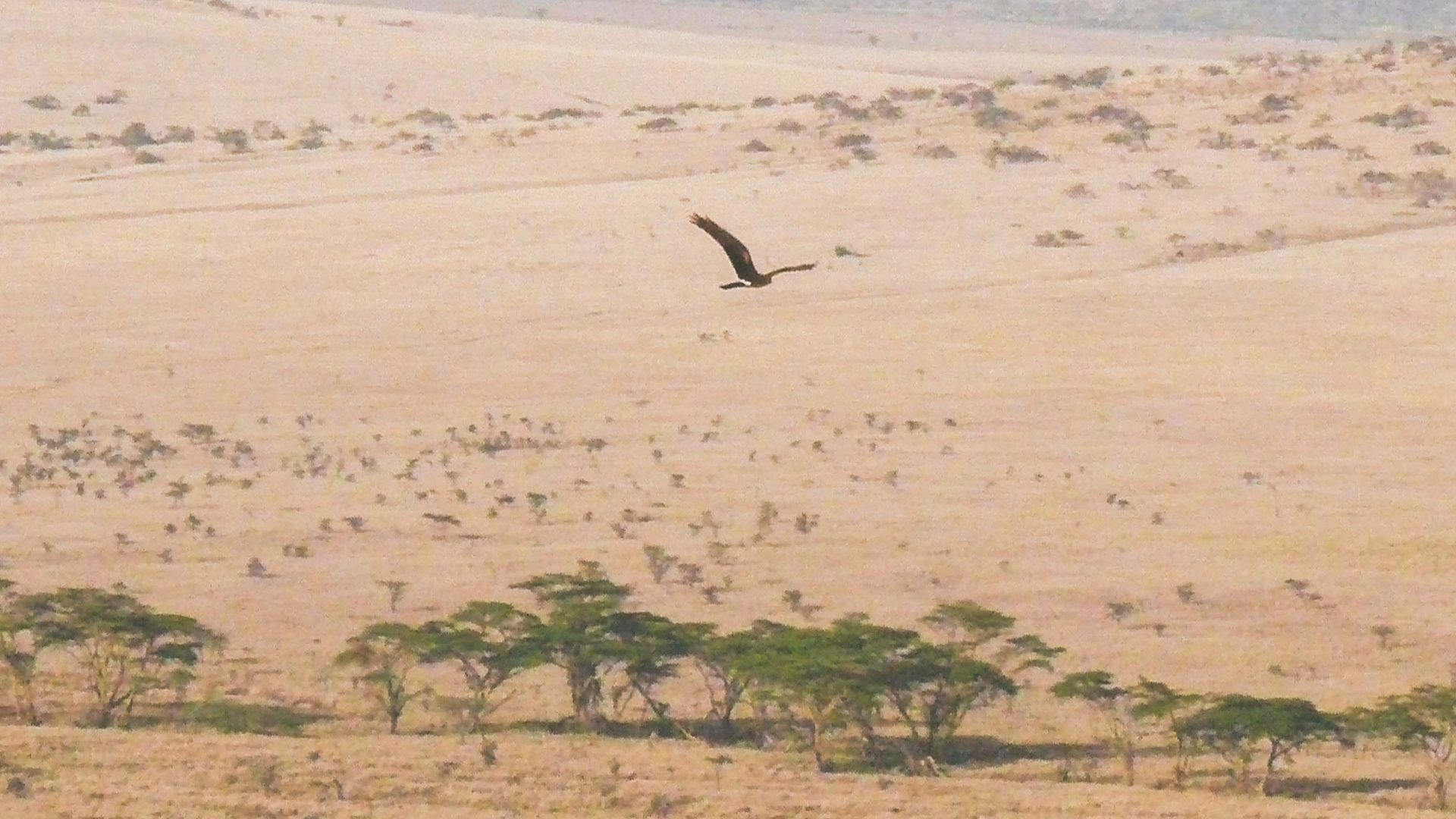 A bird flies over Samburu in the dry season.