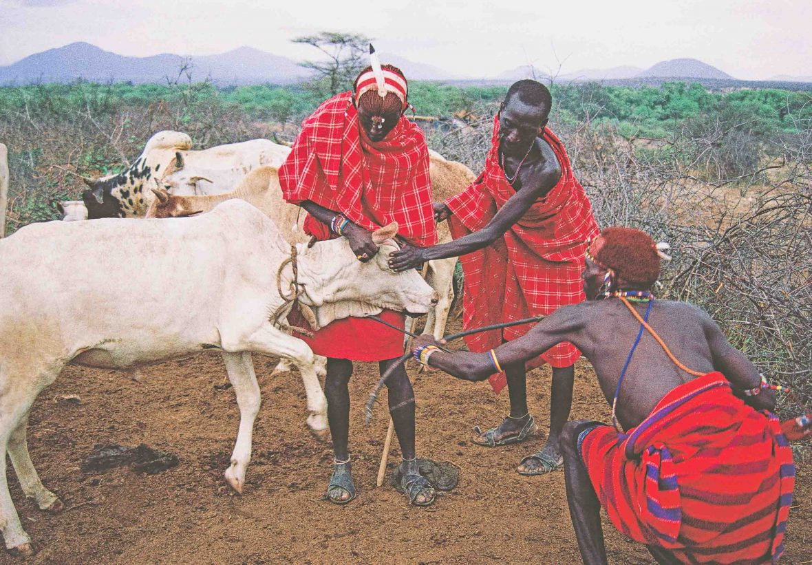 Samburu men hold a cow in order to take blood from its jugular at Samburu National Reserve, Kenya.