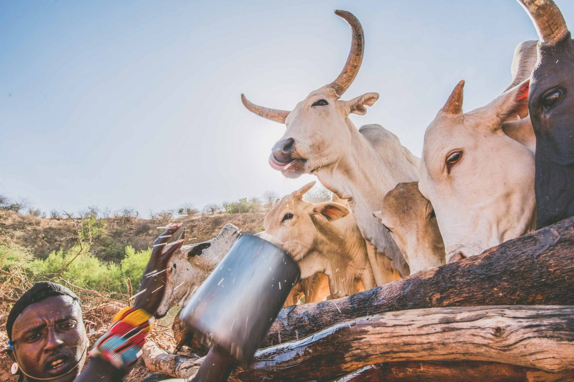 Cattle drink from wells dug by Samburu warriors in Sara Conservancy in northern Kenya.