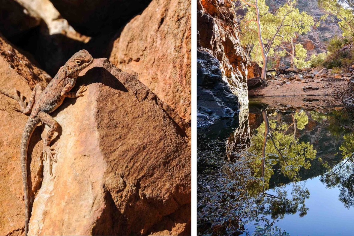 Left: A lizard suns itself on a rock at Mount Sonder in Australia's West MacDonnell Ranges; Right: Reflections in Serpentine Gorge.