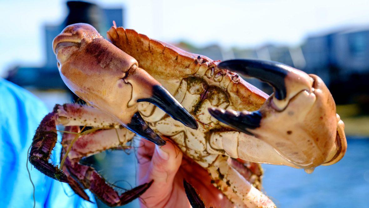 Crabs are in abundance around Fleinvaer archipelago, Norway.