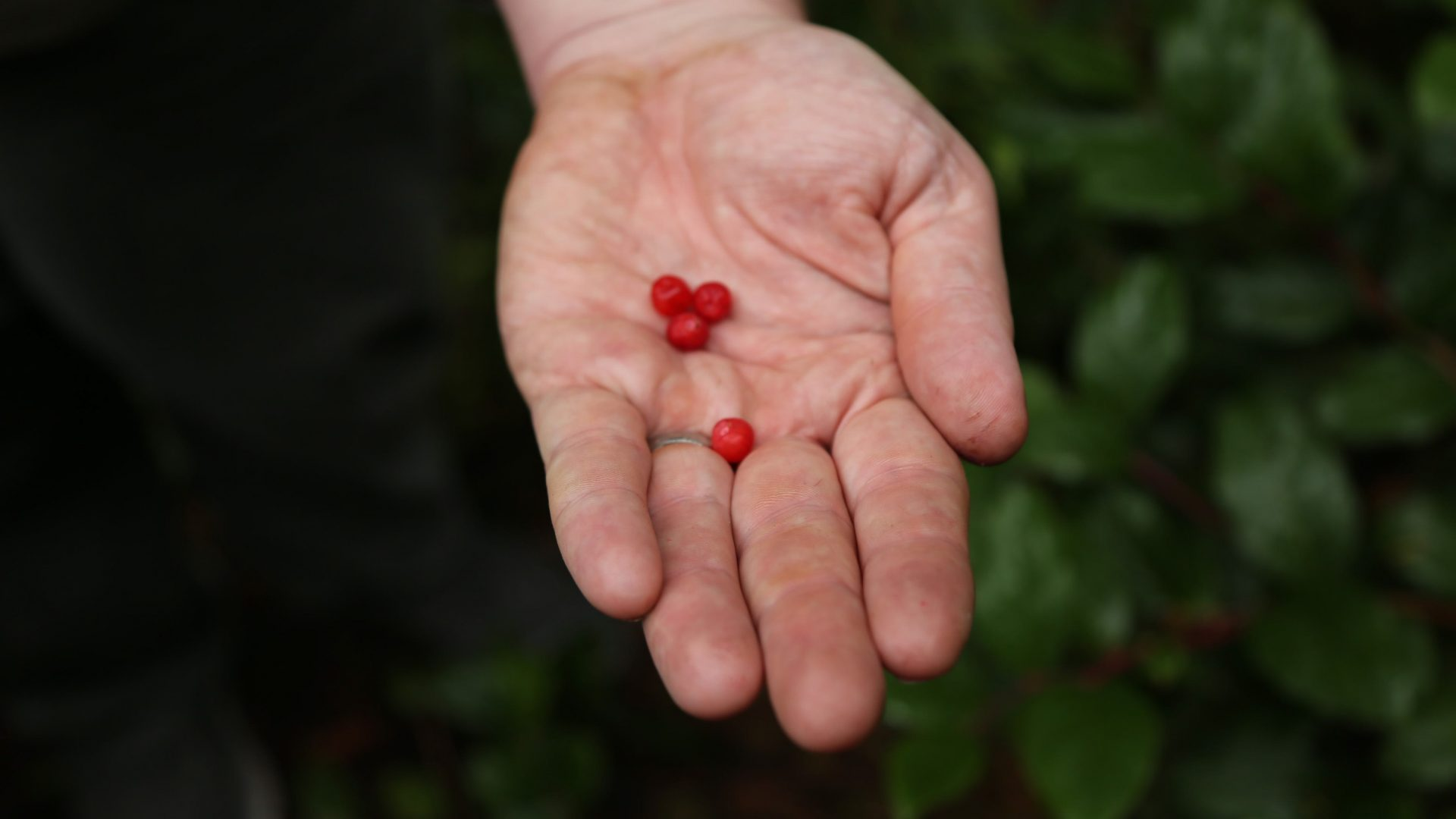 Red huckleberries found in the forests of Vancouver Island.