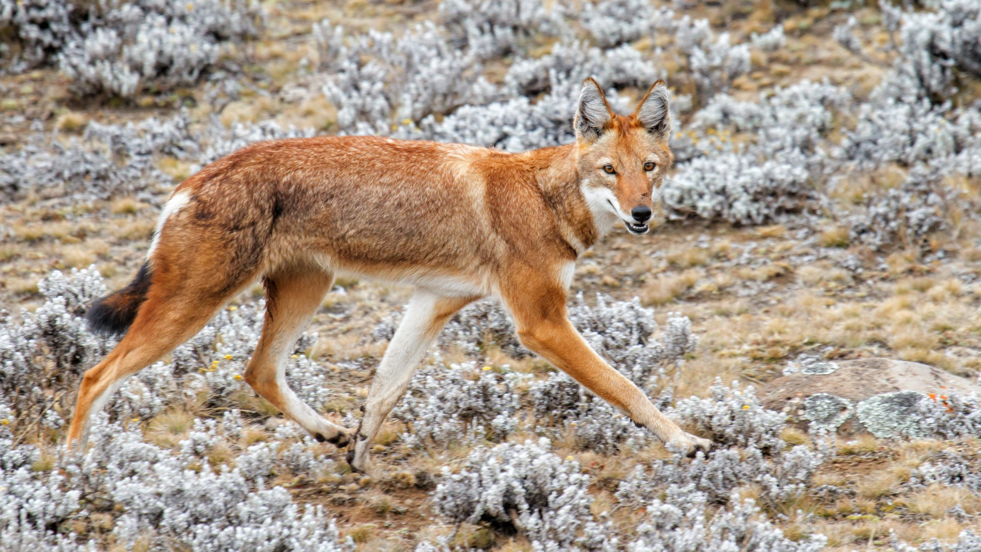 An Ethiopian wolf walks along the Sanetti Plateau in Ethiopia's Bale Mountains.