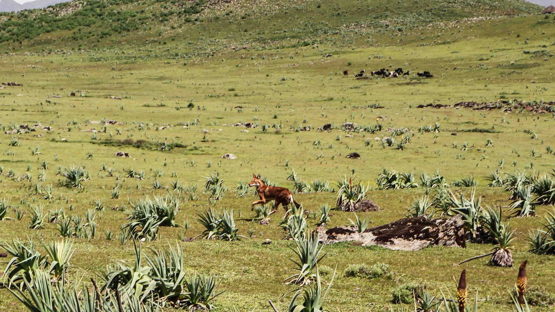 An Ethiopian wolf in the Bale Mountains.