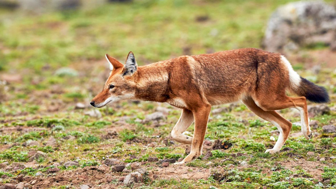 In search of the rare Ethiopian wolf on the rooftop of Africa