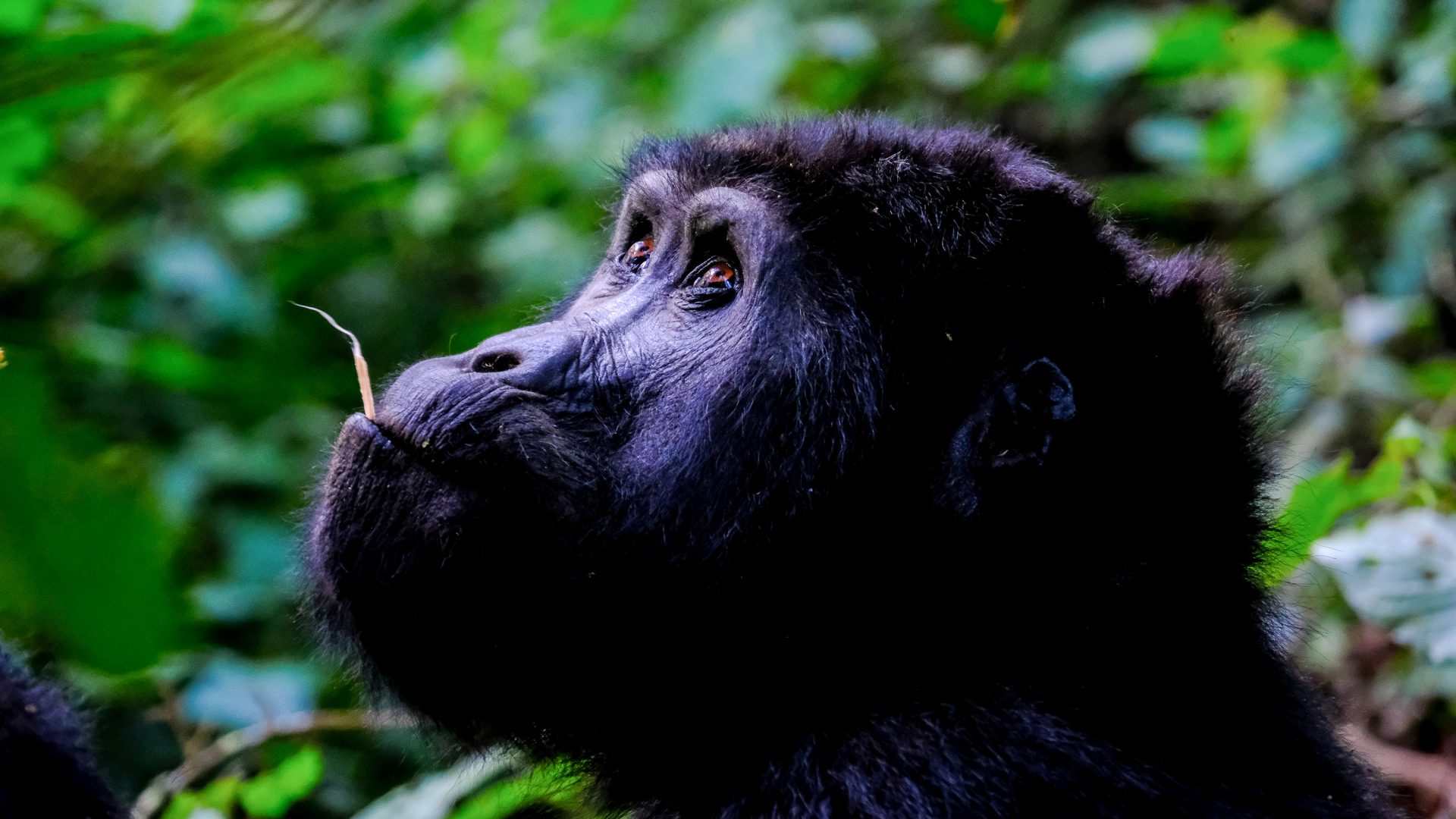 Can you speak 'Gorilla'? The language lesson that might just save your life