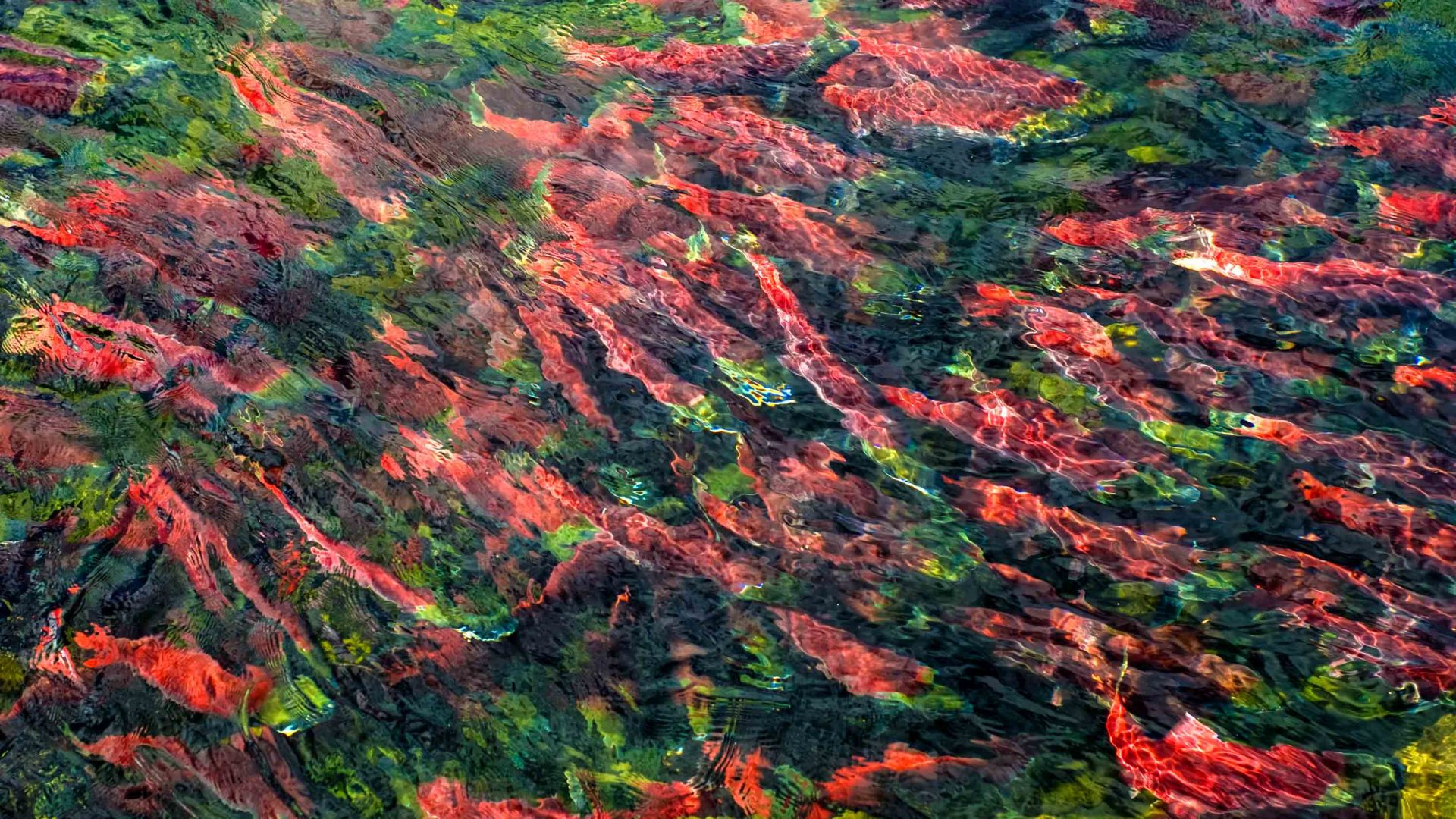 British Columbia's sockeye salmon run is bizarre, beautiful and bittersweet