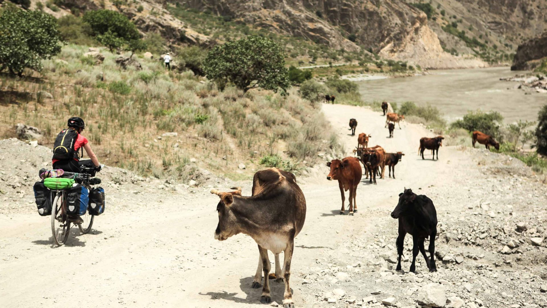 Cycling past cows on the road in Tajikistan.
