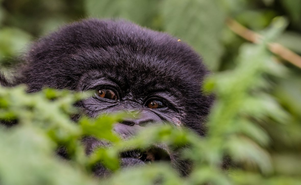 A gorilla in Volcanoes National Park, Rwanda.