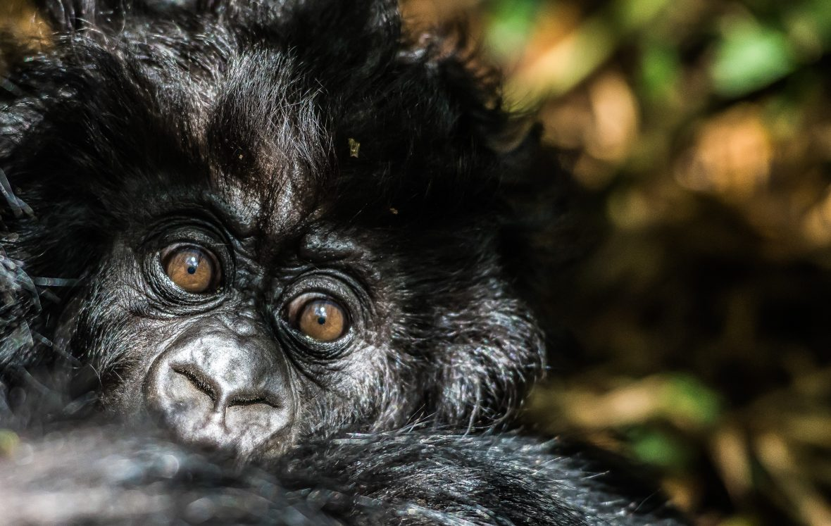 A baby gorilla in Volcanoes National Park, Rwanda.