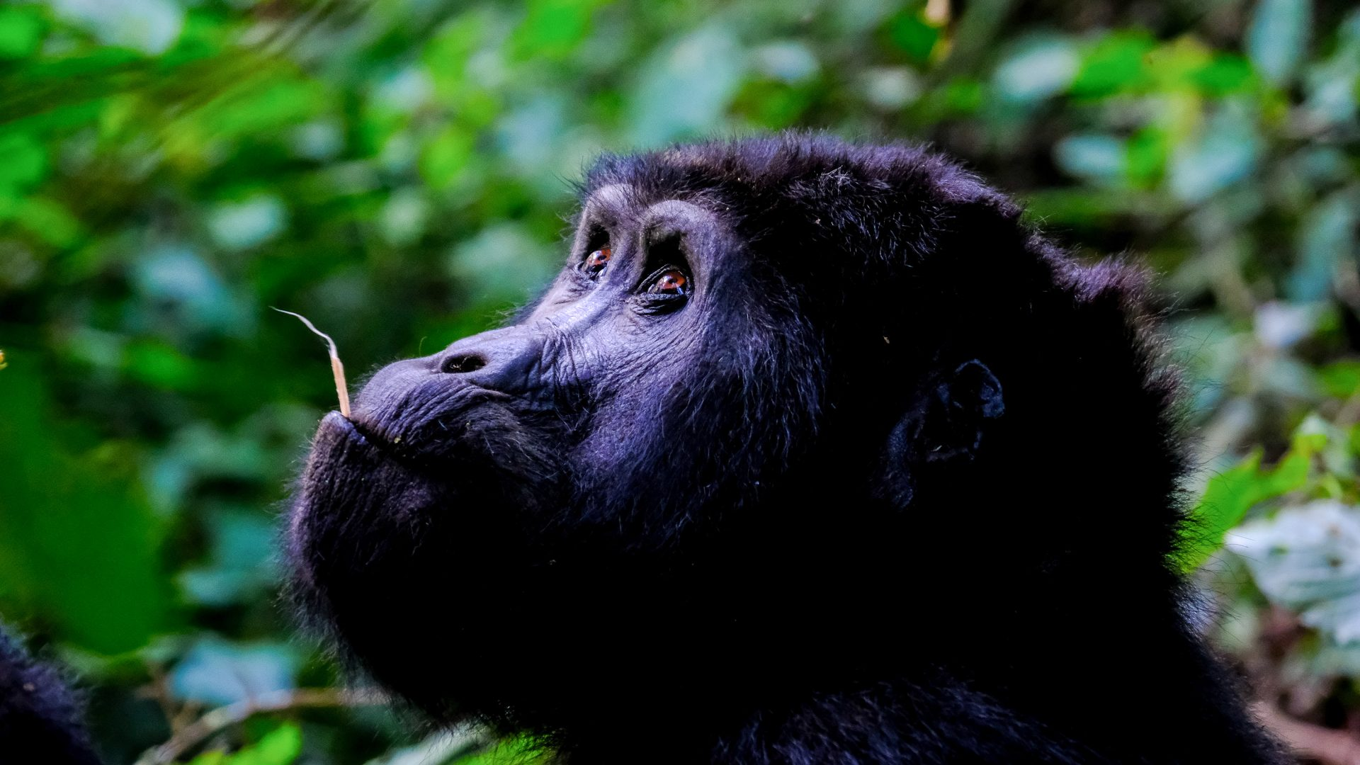 A gorilla surrounded by lush green forest.
