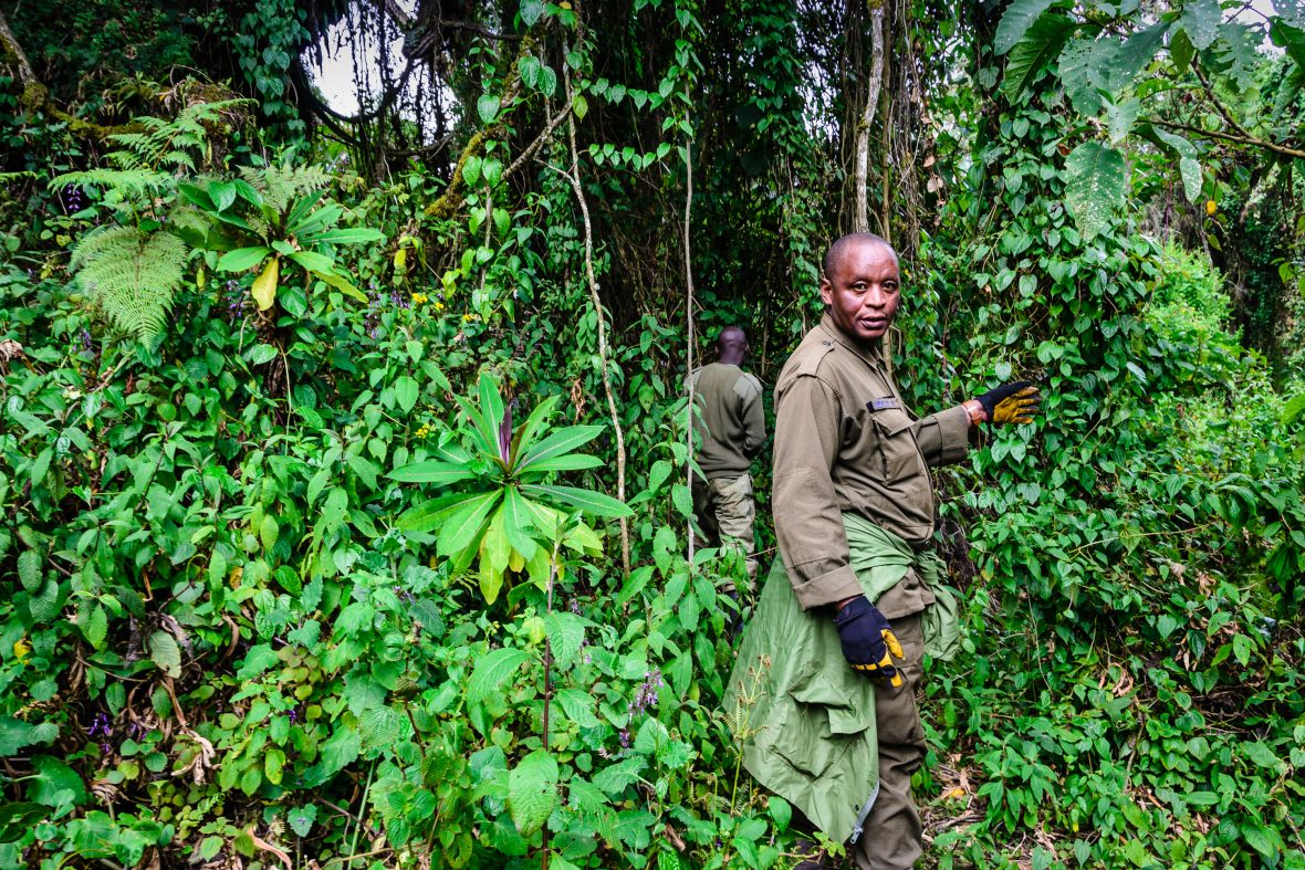Guides and trackers look for gorillas in Volcanoes National Park in Rwanda.