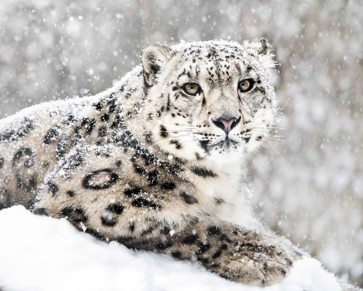 Frontal portrait of a snow leopard in a snow storm.