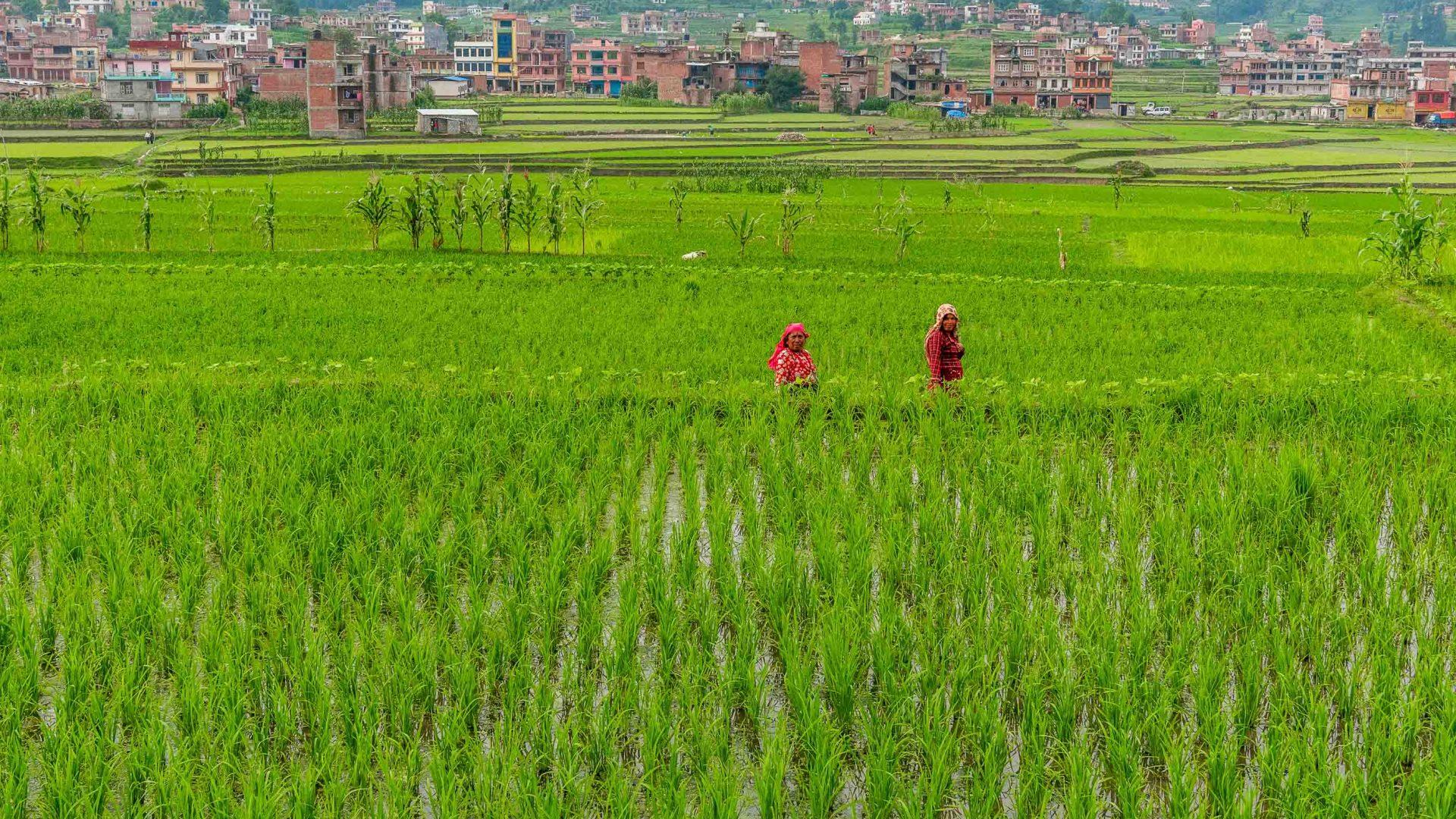 Women in the lush green rice fields of Panauti, Nepal.