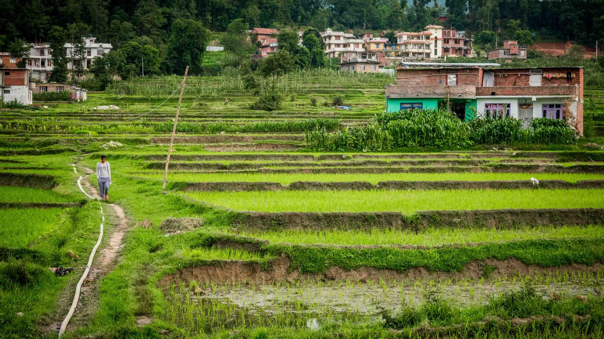 The lush green rice paddy fields of Panauti, Nepal.
