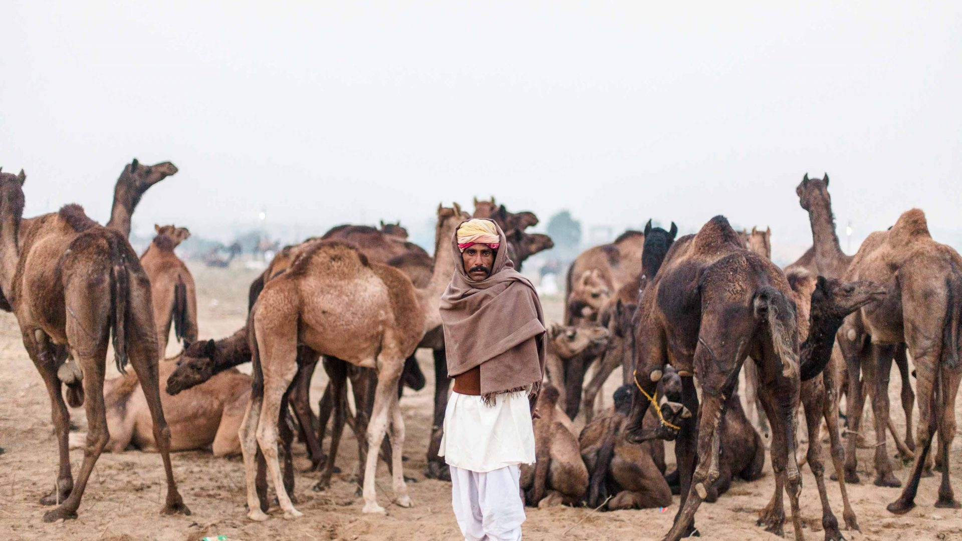 A herder and his camels at Pushkar Camel Fair.