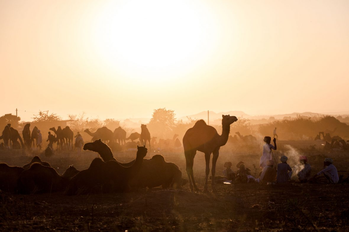 Camels in sunset light on the dunes of Pushkar.
