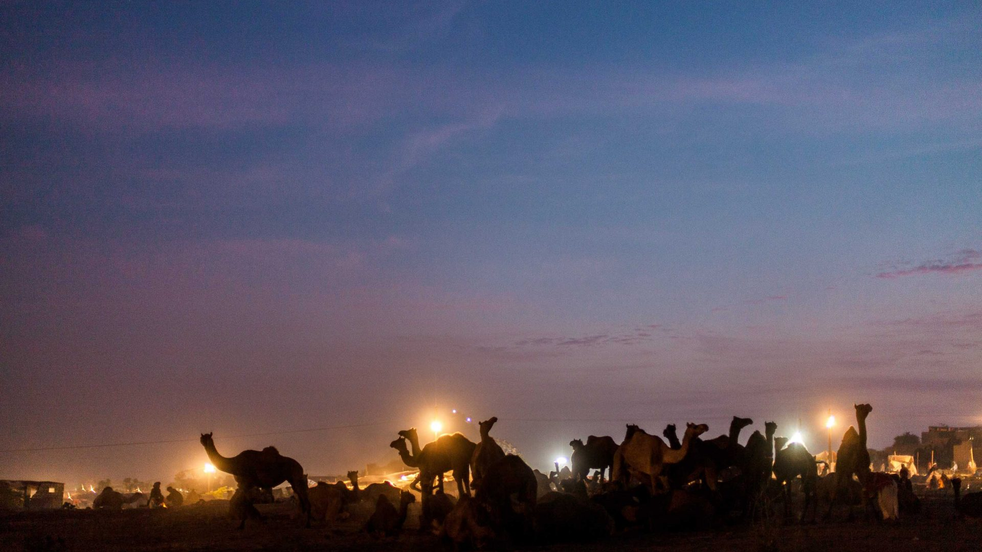 Camels at dawn on the photographer's final day of Pushkar Camel Fair.