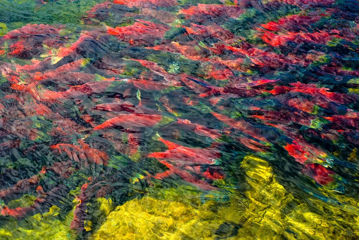Sockeye salmon during the Adams River salmon run.