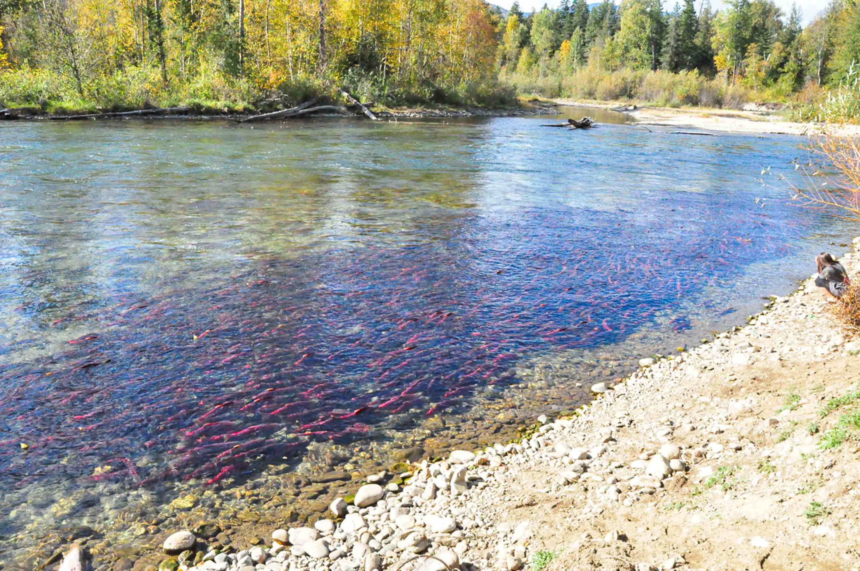 'We're sounding the alarm': half of Canada's chinook salmon endangered