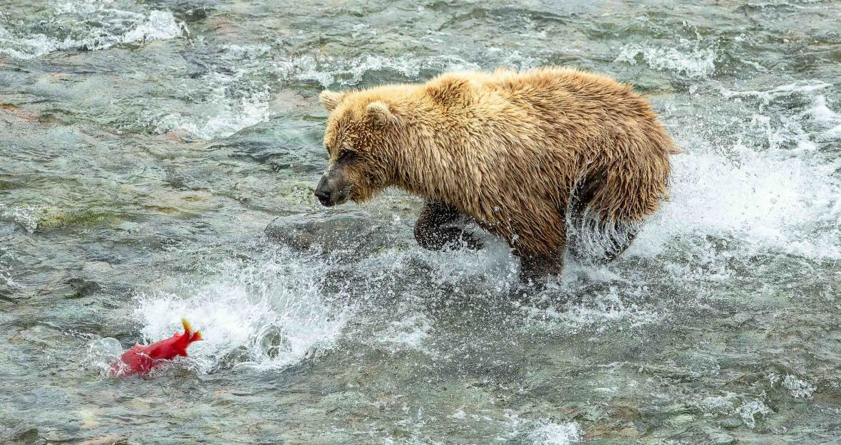 A bear tries to catch a sockeye salmon during its migration.