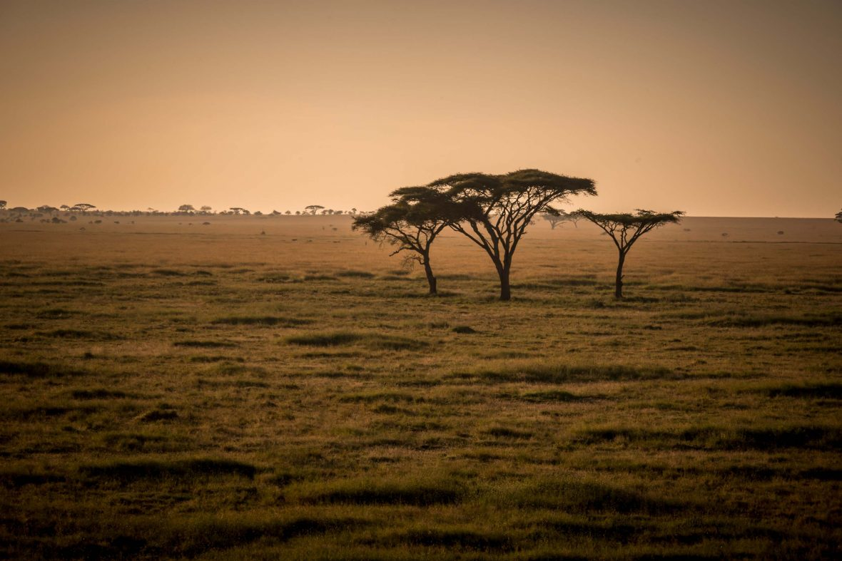 An acacia tree stands silhouetted against the yellow glow of sunrise in the Serengeti, Tanzania.