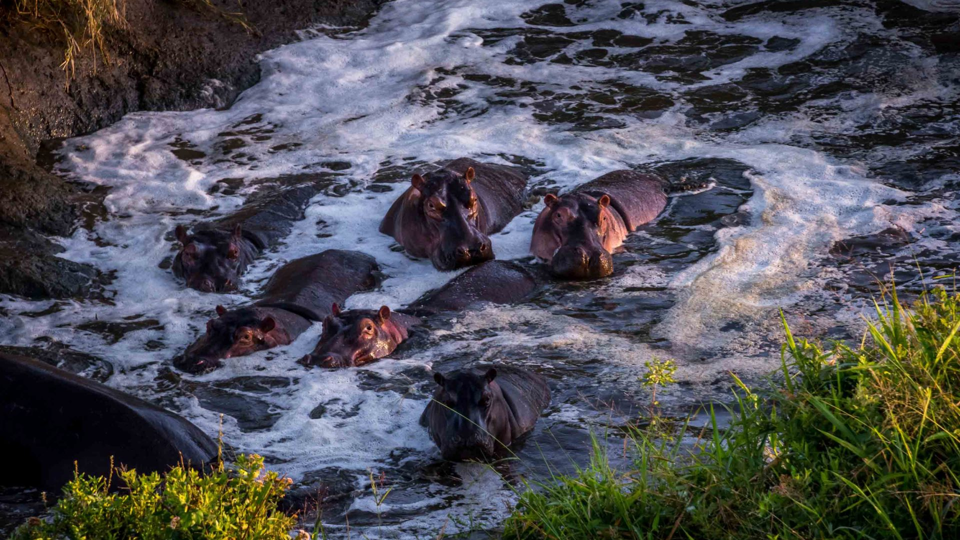 Hippos in the Serengeti, Tanzania, as seen from a hot air balloon.